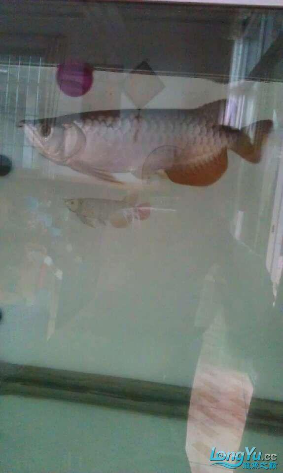 水质怎样,不开灯还可以,开灯感觉不是很清 哈尔滨水族批发市场 哈尔滨龙鱼第1张