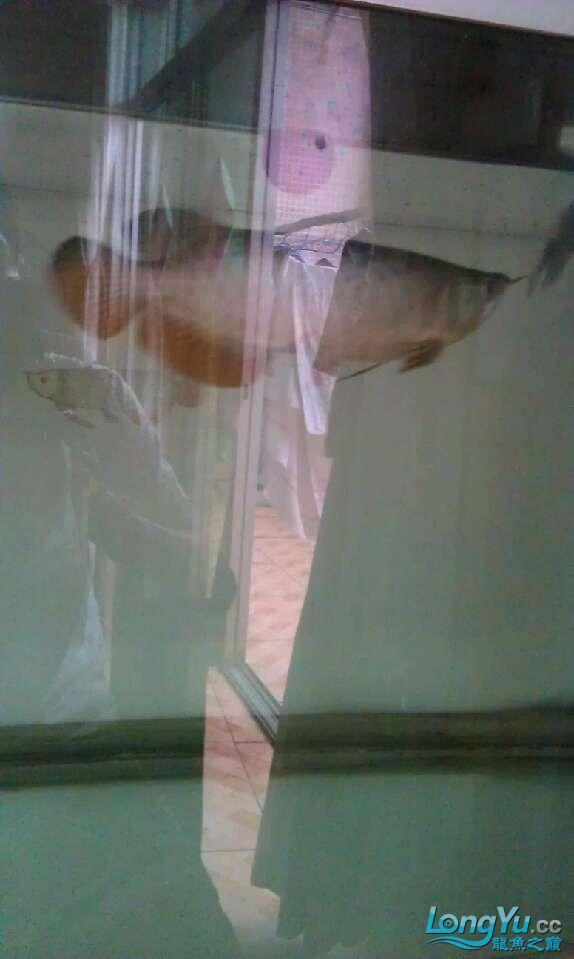 水质怎样,不开灯还可以,开灯感觉不是很清 哈尔滨水族批发市场 哈尔滨龙鱼第2张