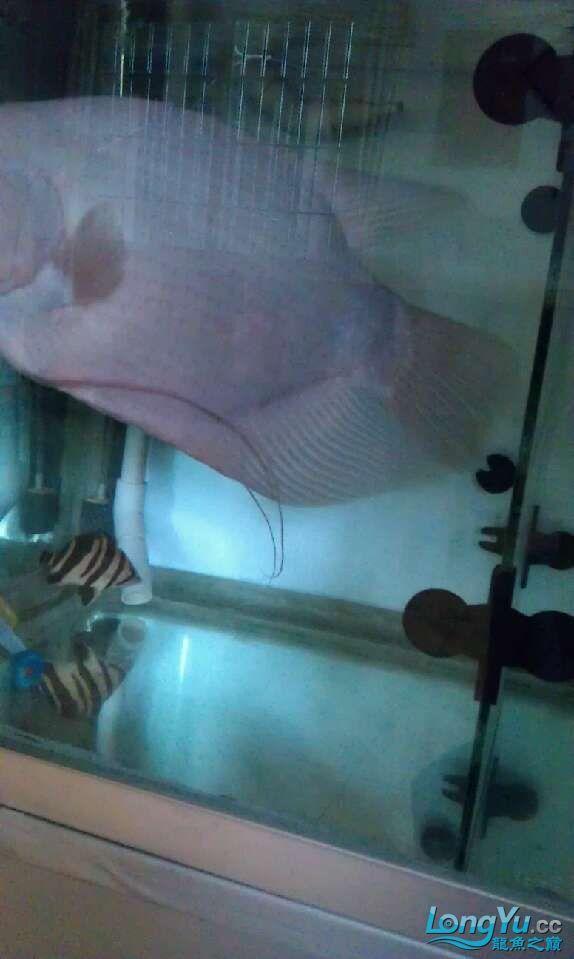 水质怎样,不开灯还可以,开灯感觉不是很清 哈尔滨水族批发市场 哈尔滨龙鱼第3张
