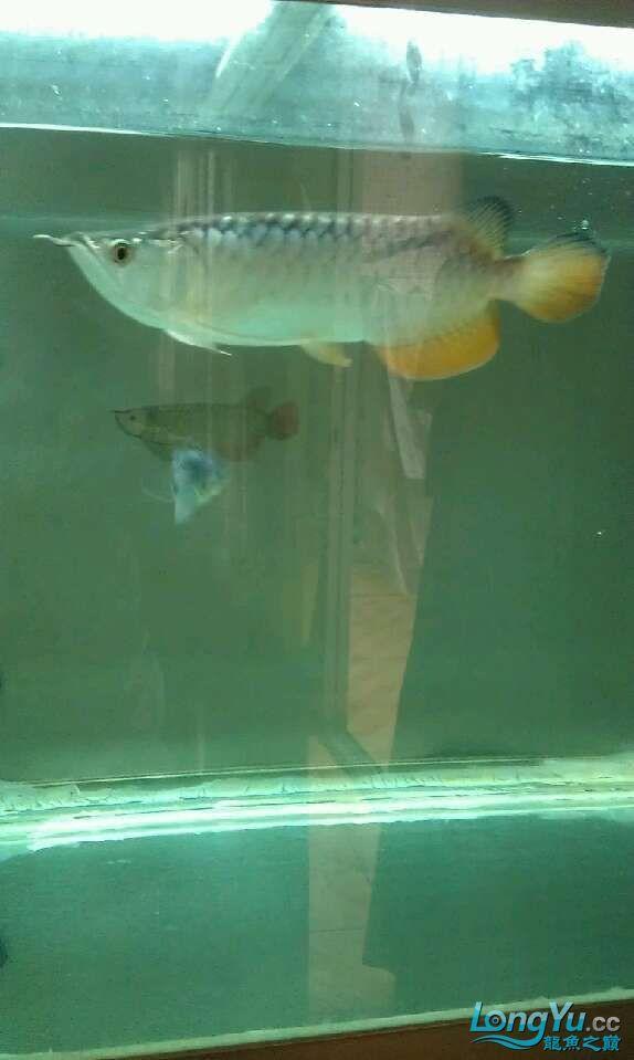 水质怎样,不开灯还可以,开灯感觉不是很清 哈尔滨水族批发市场 哈尔滨龙鱼第5张