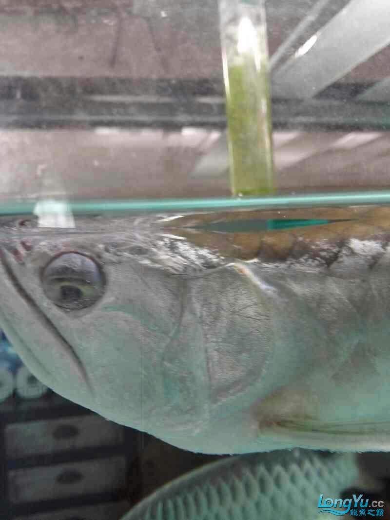 银龙怎么了? 福州观赏鱼 福州龙鱼第3张