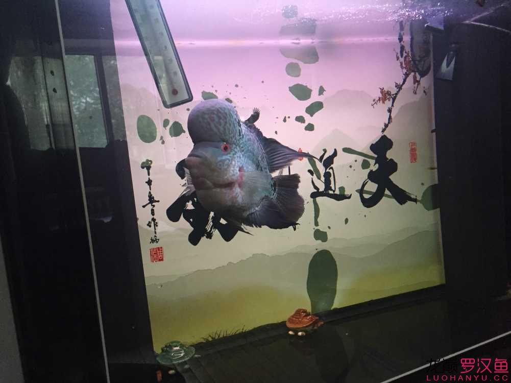 请高手帮忙看下我的罗汉是什么品种 乌鲁木齐水族批发市场 乌鲁木齐龙鱼第1张