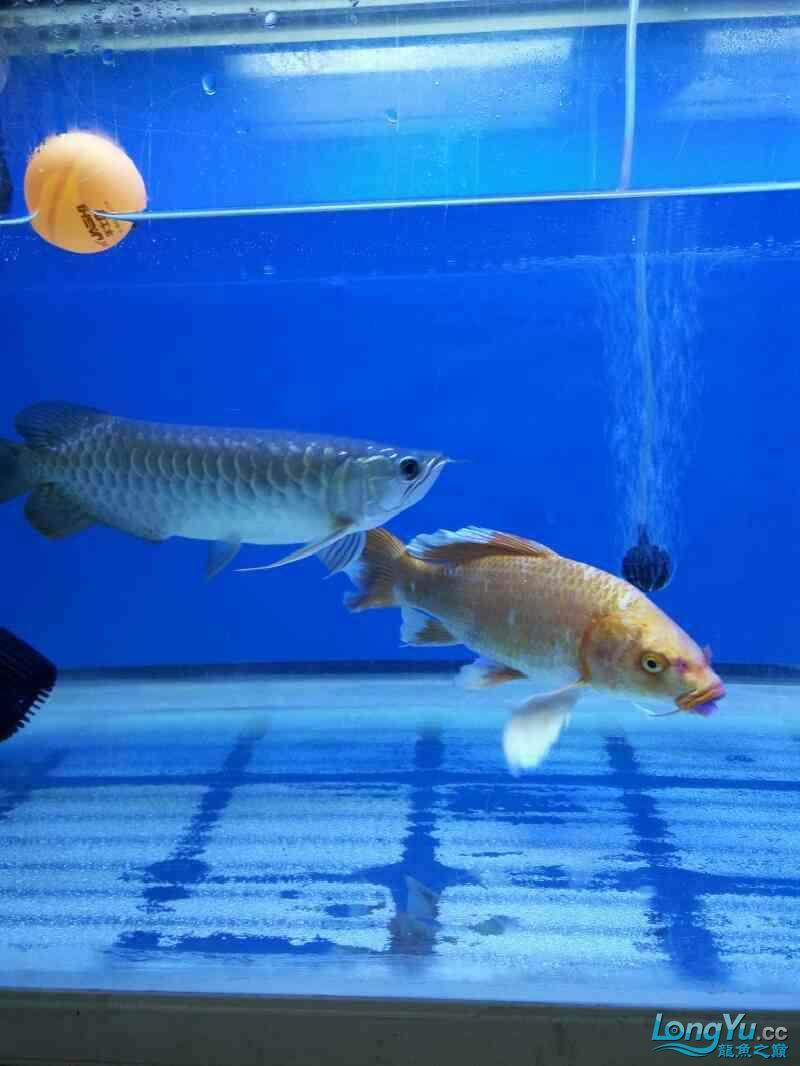 【乌鲁木齐热带鱼水族箱市场】今天钓鱼钓的这个,和龙鱼养一起,感觉还是很好 乌鲁木齐水族批发市场 乌鲁木齐龙鱼第6张