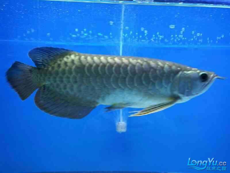 【乌鲁木齐热带鱼水族箱市场】今天钓鱼钓的这个,和龙鱼养一起,感觉还是很好 乌鲁木齐水族批发市场 乌鲁木齐龙鱼第3张