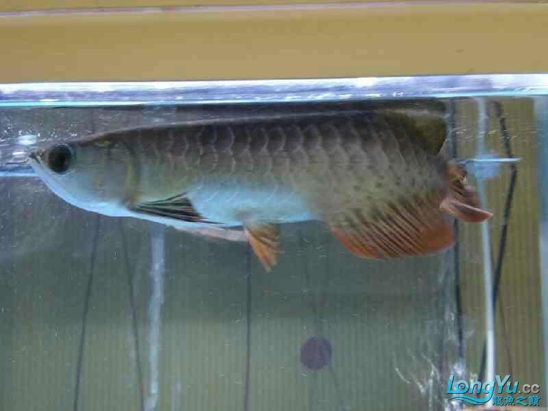 【天津元宝凤凰哪个水族店有】本人小白一个,刚入手高背,不知道这鱼有前天津红眼白子