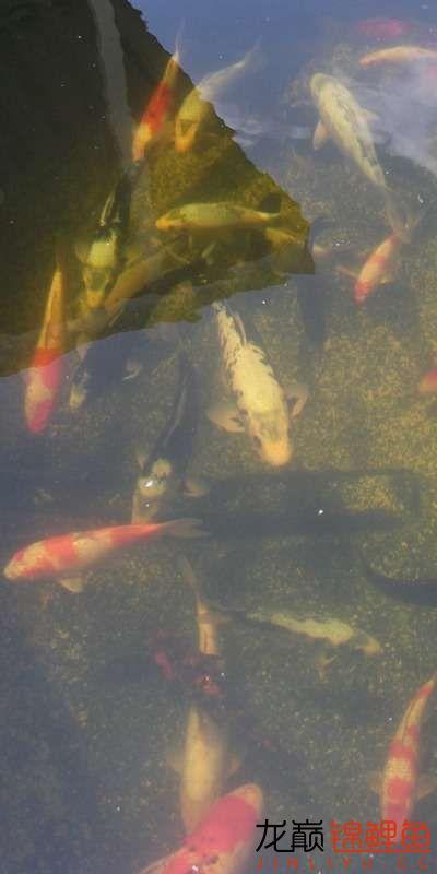 鱼不错,水有点糊 天津龙鱼论坛 天津龙鱼第1张
