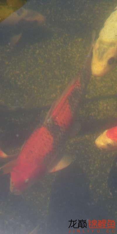 鱼不错,水有点糊 天津龙鱼论坛 天津龙鱼第2张