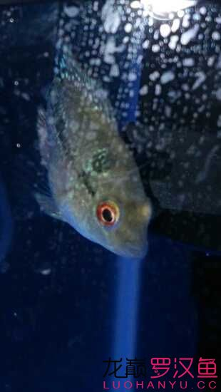 乌鲁木齐市鱼缸定制小小罗来跟大家见面咯 乌鲁木齐水族批发市场 乌鲁木齐龙鱼第1张