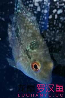 乌鲁木齐市鱼缸定制小小罗来跟大家见面咯 乌鲁木齐水族批发市场 乌鲁木齐龙鱼第2张
