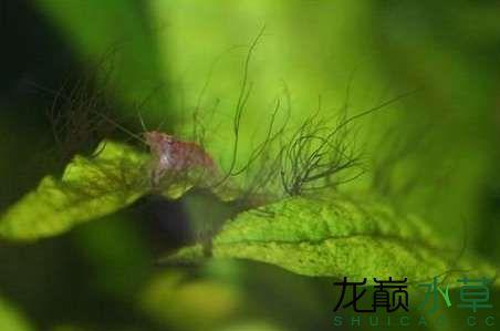 鹿角藻.jpg
