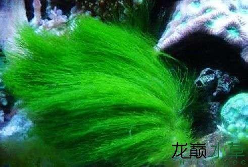 绿毛藻.jpg