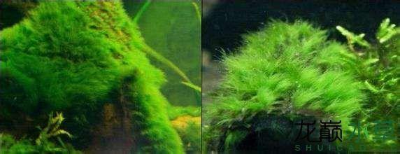 马鬃藻.jpg