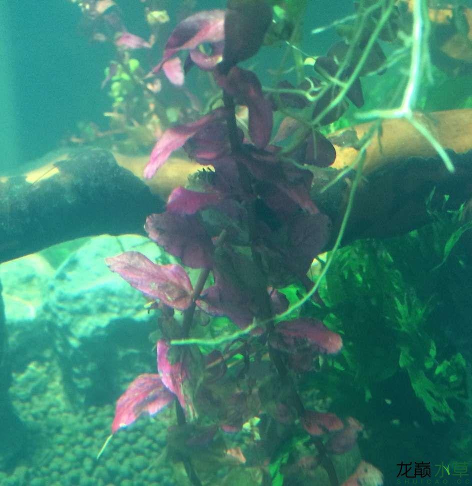 这几种水草都叫什么啊?搭配吗? 乌鲁木齐水族批发市场 乌鲁木齐龙鱼第4张