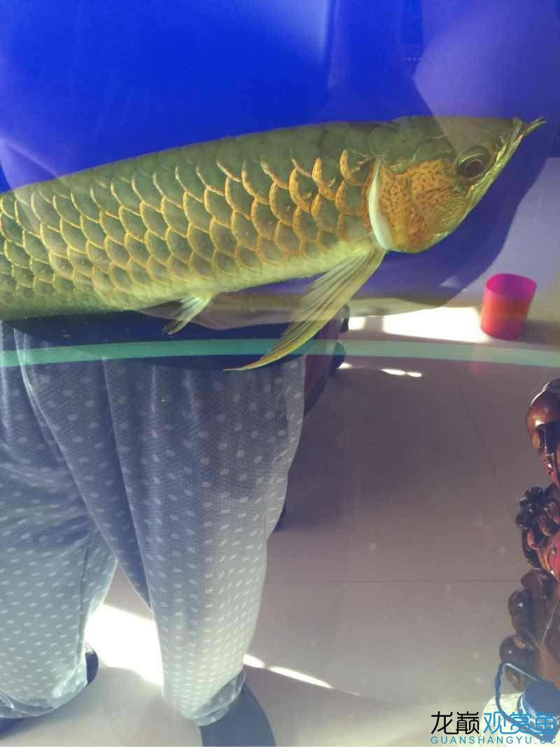 龙鱼,今早喂大麦虫好像喂多了。喂了7.8条。趴低了怎么办? 天津龙鱼论坛 天津龙鱼第3张