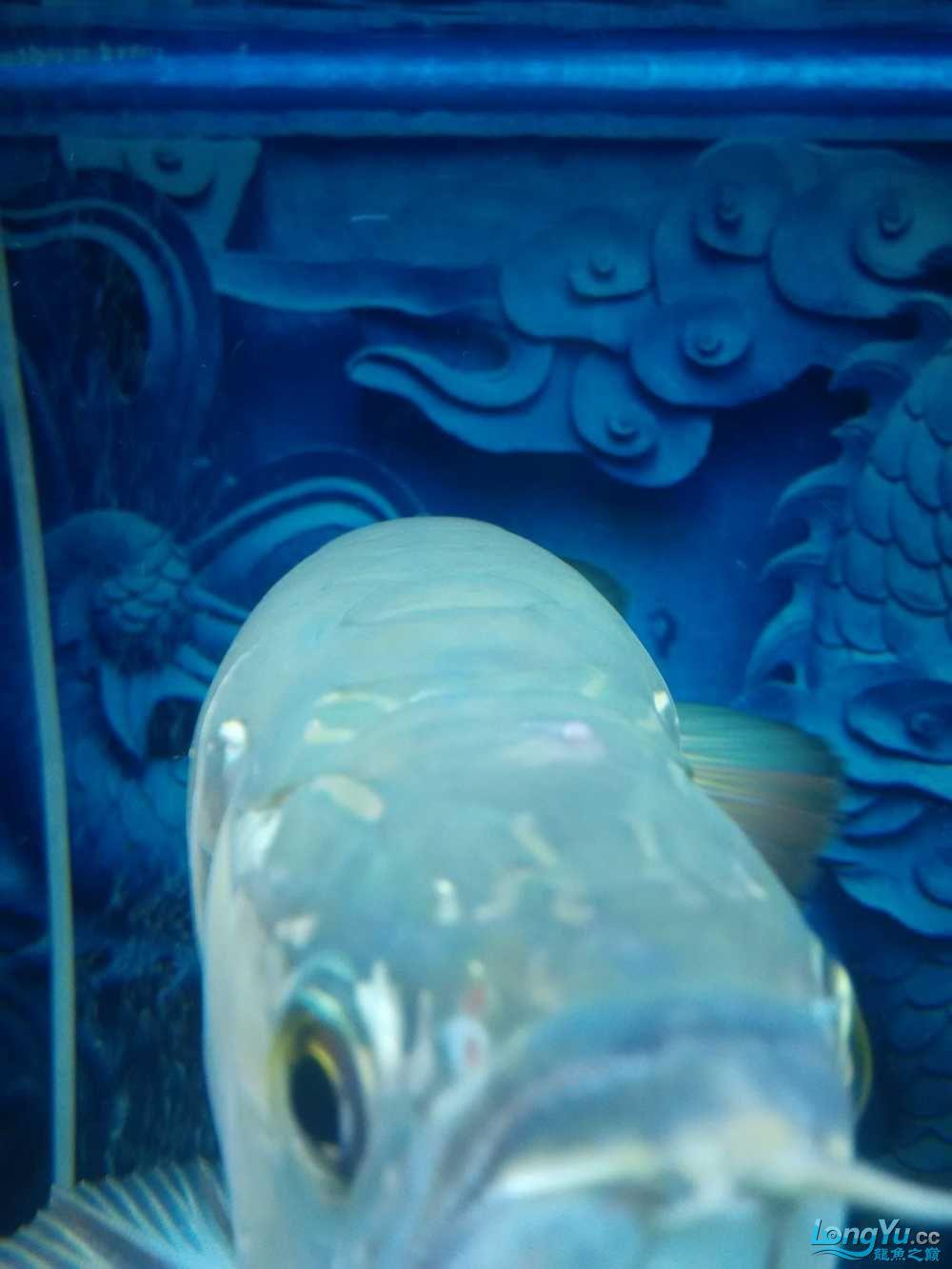 龙鱼头撞破了出现个包 乌鲁木齐龙鱼论坛 乌鲁木齐龙鱼第2张