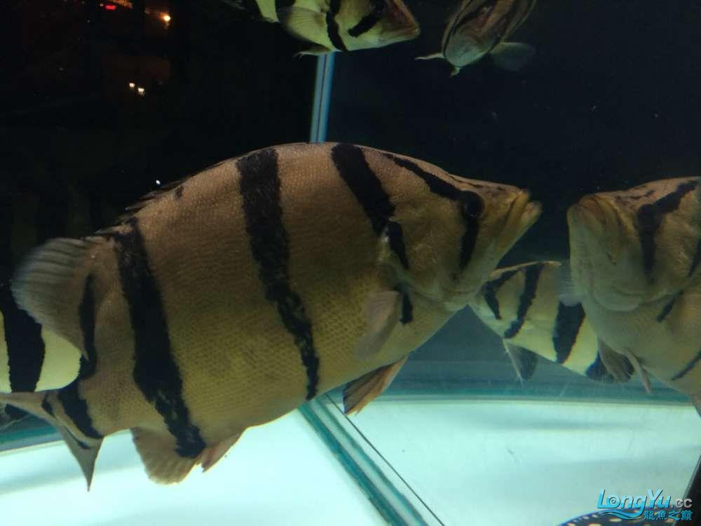乌鲁木齐暹罗巨鲤(国宝级)发发家里的几条大虎
