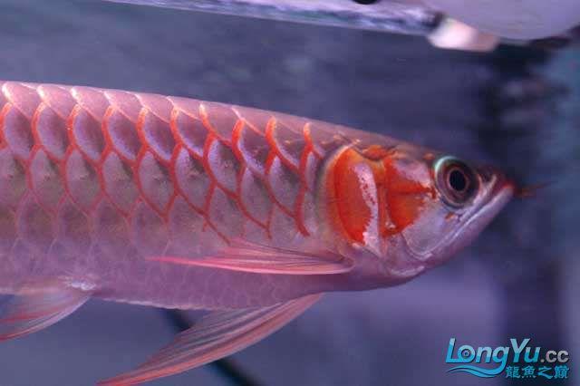 除了漂亮不知道说什么 兰州水族批发市场 兰州龙鱼第7张