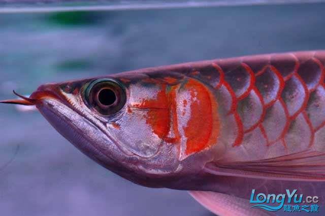 除了漂亮不知道说什么 兰州水族批发市场 兰州龙鱼第6张