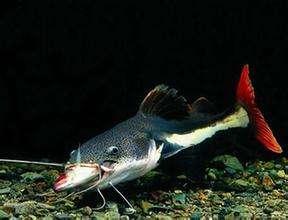 观赏鱼招财猫吃什么