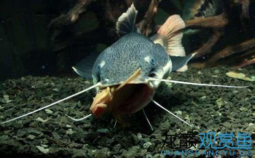 观赏鱼招财猫吃什么 营口龙鱼论坛 营口龙鱼第2张