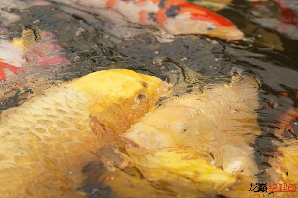 大头大头,下雨不愁人家有伞,你有大头 营口观赏鱼 营口龙鱼第1张