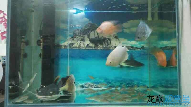 一条40公分的招财猫,两条20公分的招财, 鱼缸器材 龙巅观赏鱼图片