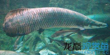 什么观赏鱼最凶猛 天津龙鱼论坛 天津龙鱼第2张
