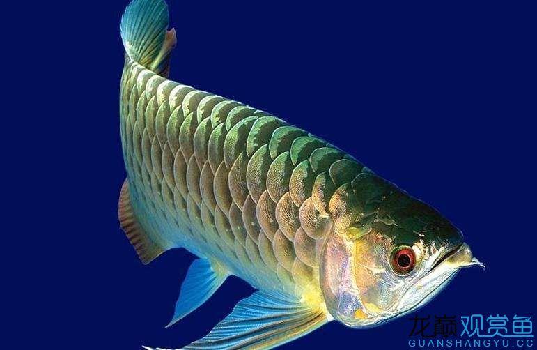 什么观赏鱼最凶猛 天津龙鱼论坛 天津龙鱼第5张