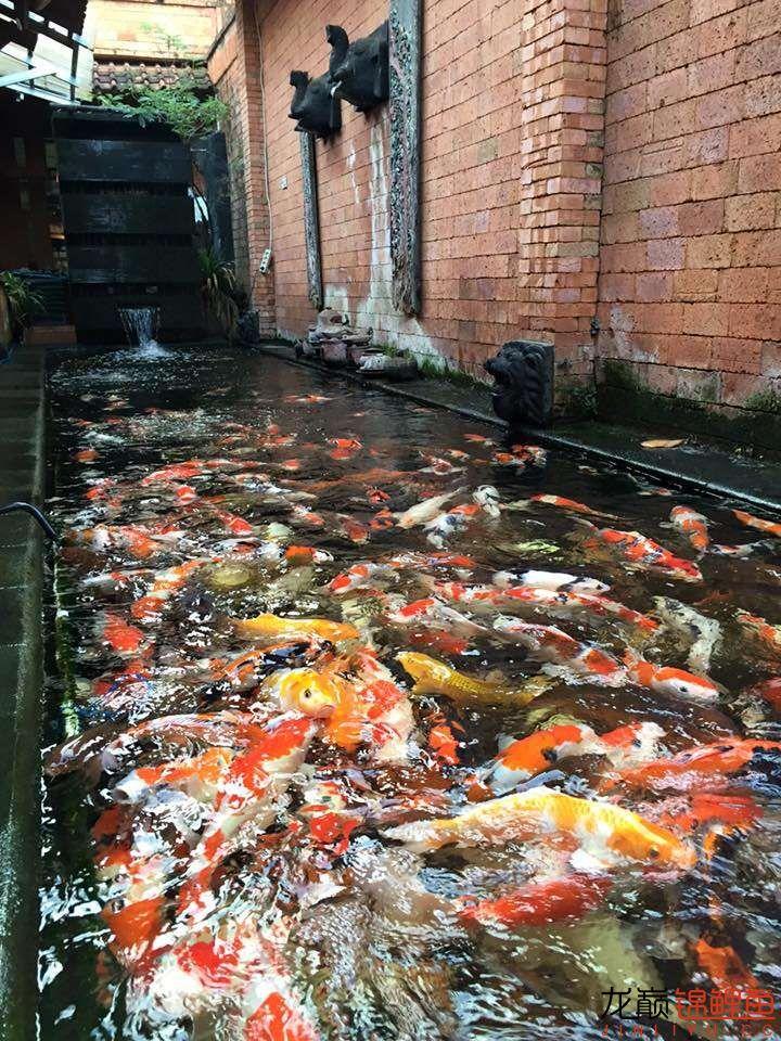 高密度锦鲤鱼池 营口观赏鱼 营口龙鱼第6张