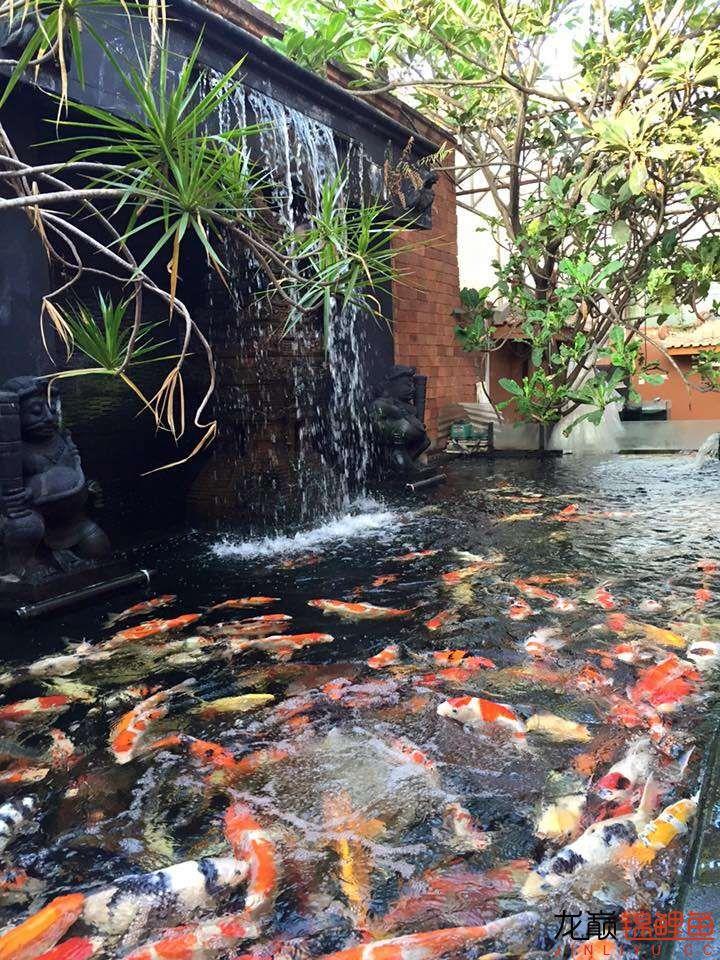 高密度锦鲤鱼池 营口观赏鱼 营口龙鱼第7张