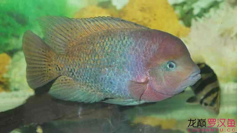 无聊发发我的紫红火口 营口观赏鱼 营口龙鱼第9张