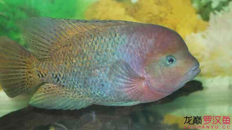 无聊发发我的紫红火口 营口观赏鱼 营口龙鱼第5张