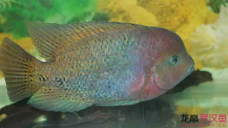 无聊发发我的紫红火口 营口观赏鱼 营口龙鱼第7张