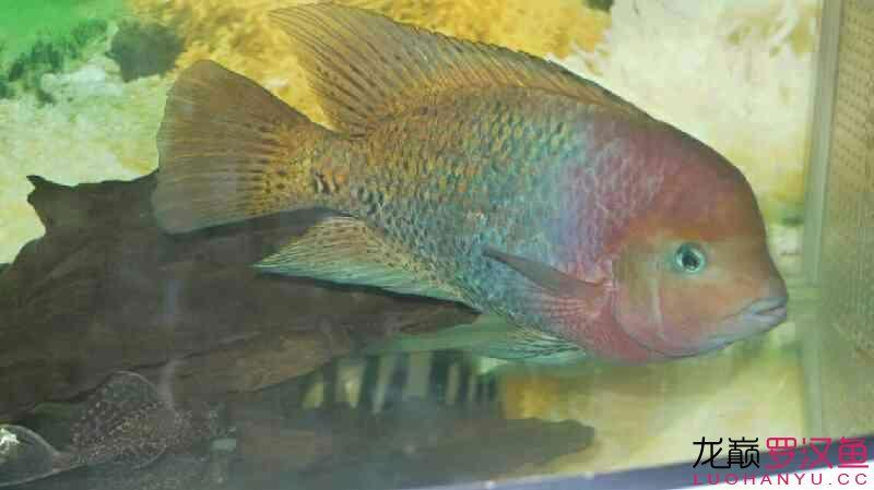 无聊发发我的紫红火口 营口观赏鱼 营口龙鱼第6张