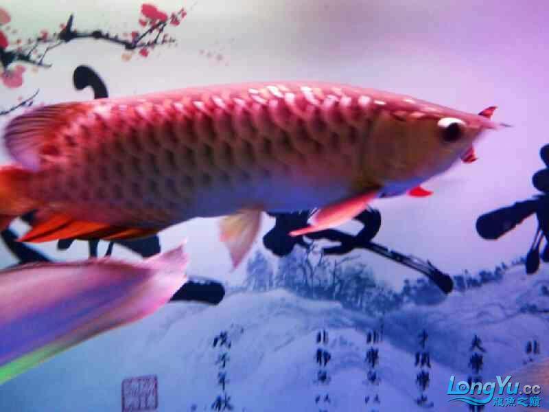 各位大神们我想咨询下关于龙鱼打架 温州水族批发市场 温州龙鱼第5张