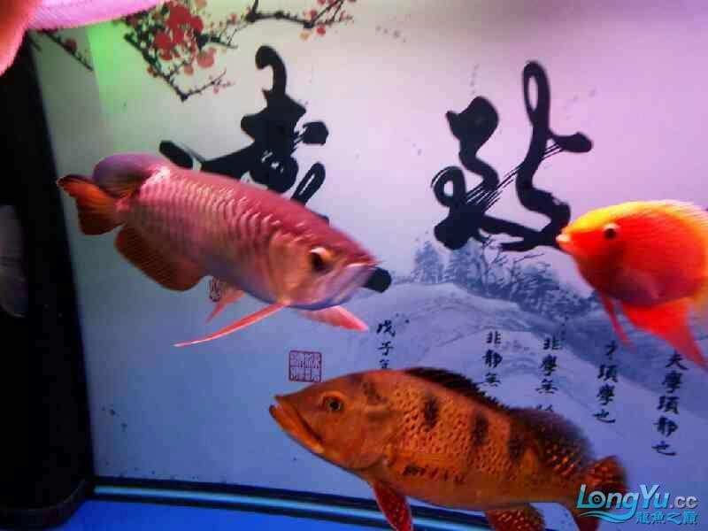各位大神们我想咨询下关于龙鱼打架 温州水族批发市场 温州龙鱼第4张