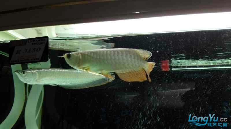 适个什么品种呀?==鱼友评论== 观赏鱼常见疾病 南通水族批发市场第3张
