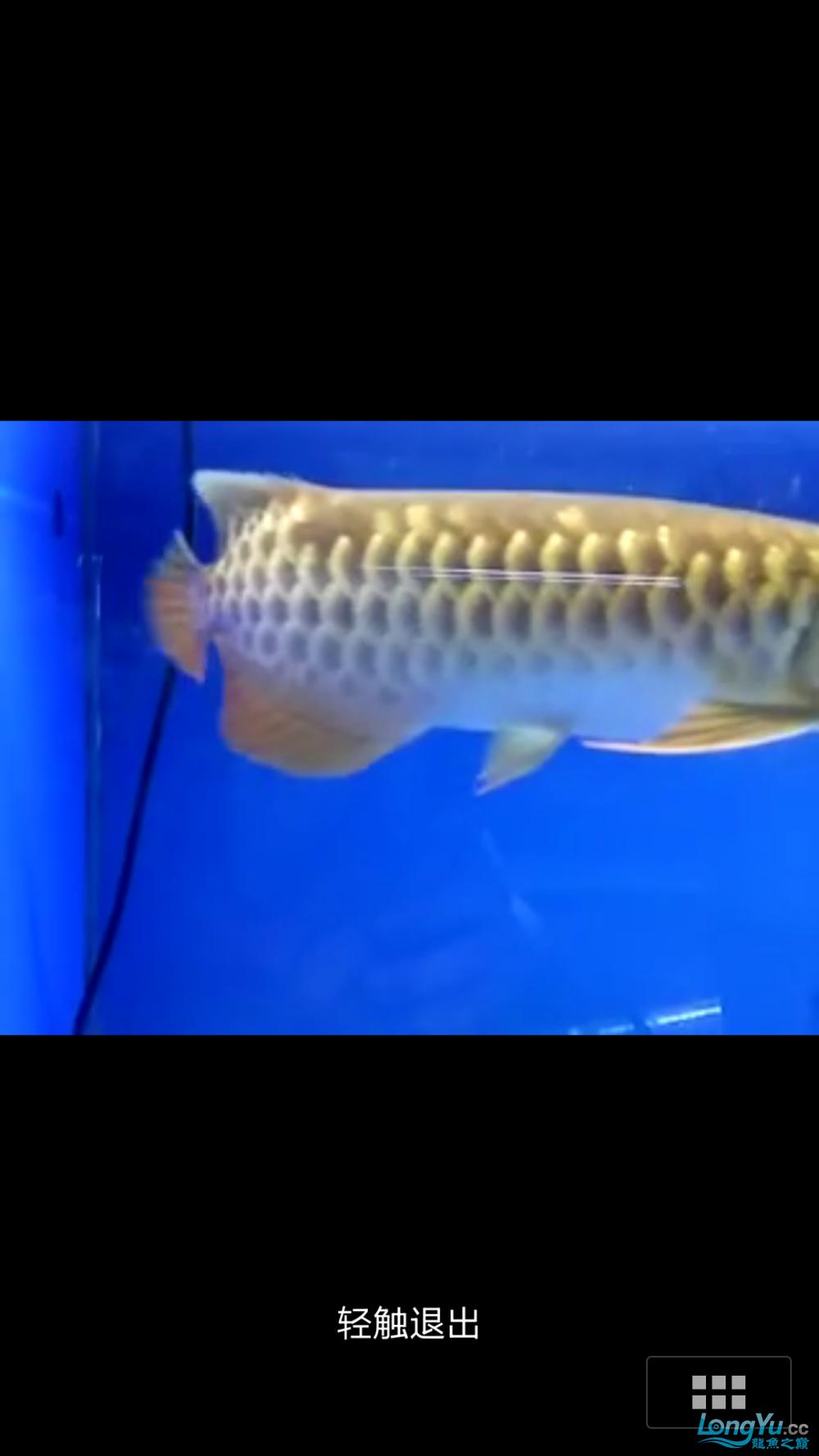 求高手给看看是不是过背! 西安水族批发市场 西安龙鱼第2张