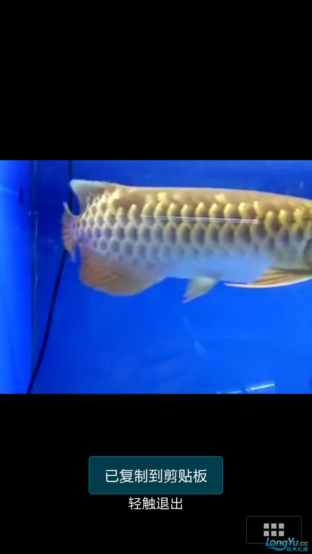 求高手给看看是不是过背! 西安水族批发市场 西安龙鱼第3张