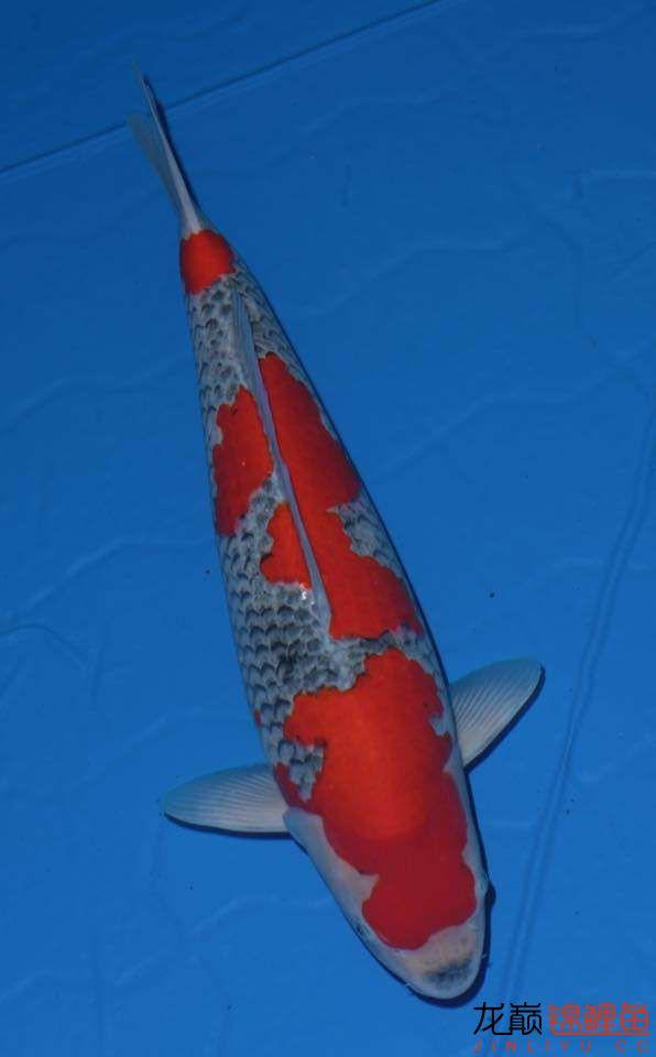 漂亮点的五色锦鲤鱼