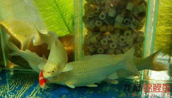 【老族长锦鲤缸是我的】+西安深蓝水族观赏鱼中意 西安水族批发市场 西安龙鱼第4张