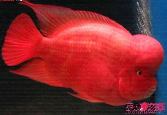 鞍山龟红马骝罗汉鱼图片