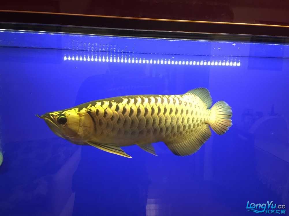 这鱼真会吃! 西安水族批发市场 西安龙鱼第1张
