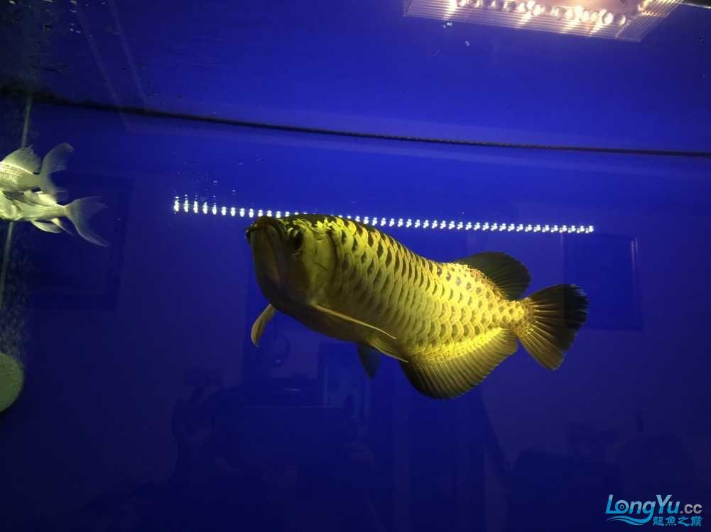 这鱼真会吃! 西安水族批发市场 西安龙鱼第2张