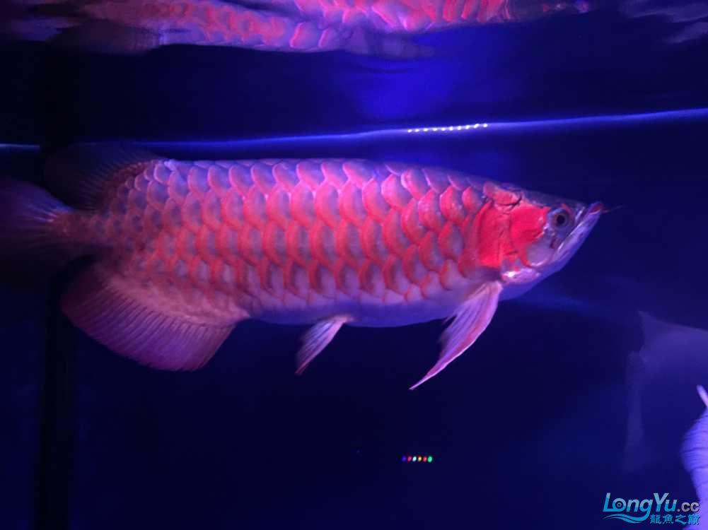 这鱼真会吃! 西安水族批发市场 西安龙鱼第3张
