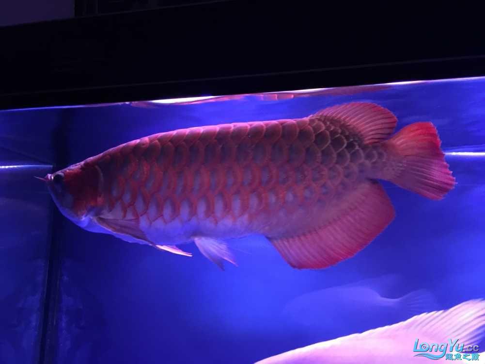 这鱼真会吃! 西安水族批发市场 西安龙鱼第4张
