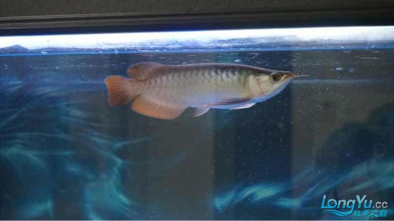 半榆林海水观赏鱼价格年的红龙