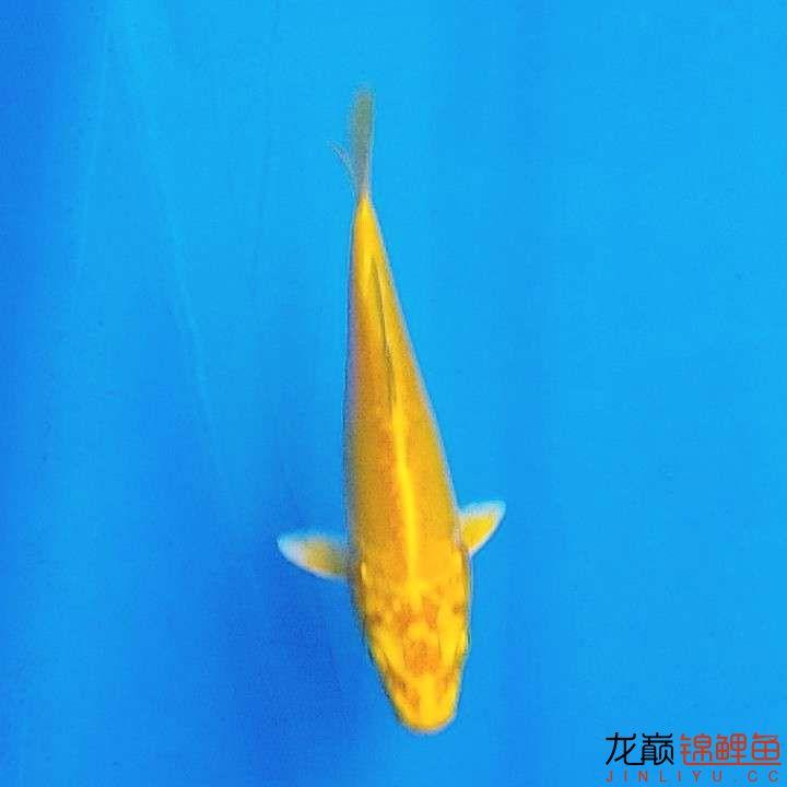 昆明玫瑰银板鱼批发更新黄金锦鲤一条,大家给评价评价