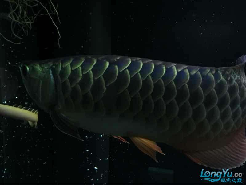 小伙伴们最近壮些了! 西宁观赏鱼 西宁龙鱼第4张