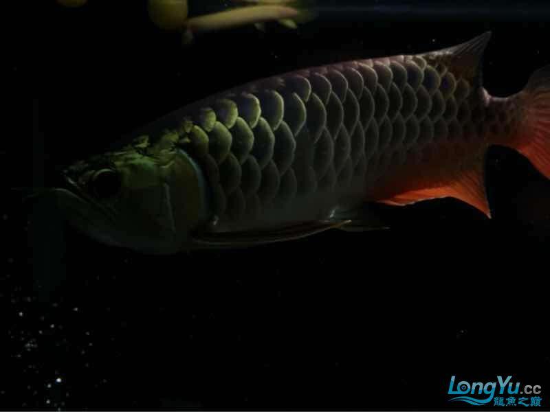 小伙伴们最近壮些了! 西宁观赏鱼 西宁龙鱼第7张